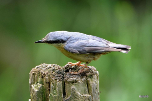 Female Nuthatch